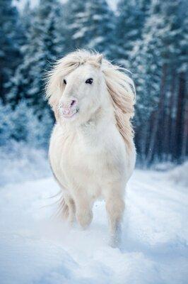 Плакат Белый Шетландские пони работает в снегу зимой