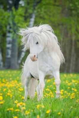 Плакат Белый Шетландские пони с красивой гривой долго работает на поле с одуванчиками