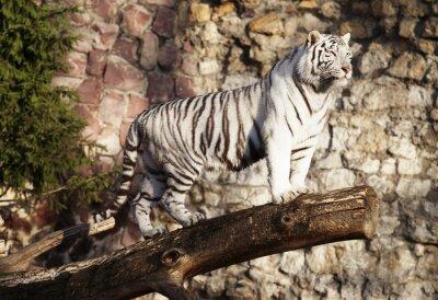 Плакат Белый тигр