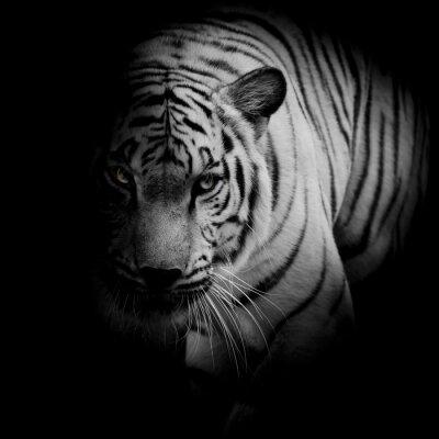 Плакат Белый тигр, изолированных на черном фоне