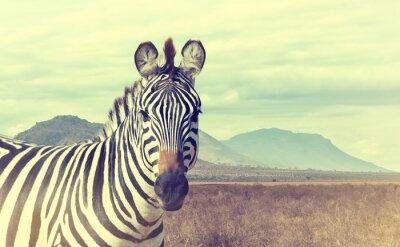Плакат Дикие африканские зебры. Урожай эффект