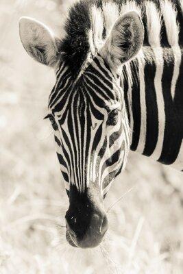 Плакат Zebra Руководитель Портрет дикой природы Черный Белый Vintage