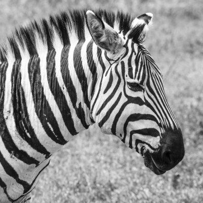 Плакат Зебра в национальном парке. Африка, Кения