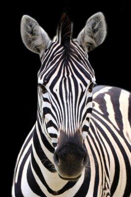 Плакат Zebra isolated on black