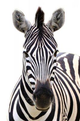 Плакат Zebra isolated on white