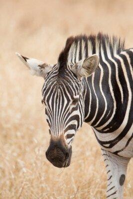 Плакат Zebra портрет, парк Крюгера, Южная Африка