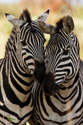 Плакат Zebra друзья