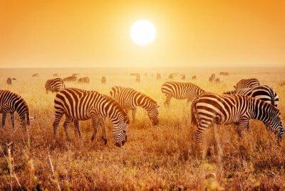 Плакат Зебры стадо на африканской саванне на закате.