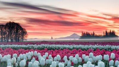 Наклейка поле тюльпанов под розовым рассветом с горы на заднем плане
