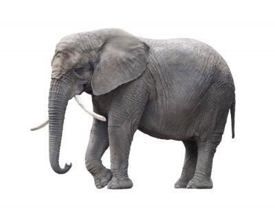 Наклейка Африканский слон, изолированных на белом с отсечения путь