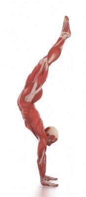 Наклейка Анатомия мышц карта белый изолированных - разогреть позой