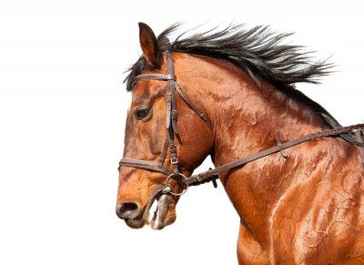 Наклейка Бей лошадь в профиль на белом фоне. Крупным планом.