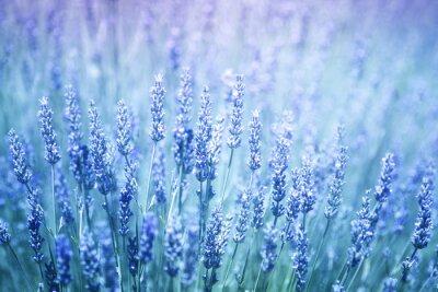 Наклейка Красивые размыты цветения лаванды растения крупным планом фон. Синий фиолетовый цвет фильтр и селективный фокус используется.