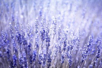 Наклейка Красивые размыты цветения лаванды растения крупным планом фон. Фиолетовый цвет синий фильтр и селективный фокус используется.