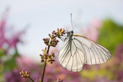 Наклейка красивая бабочка сидит на цветы сирени