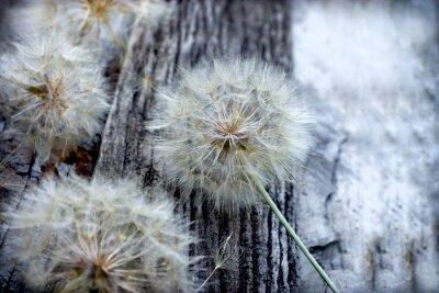 Наклейка Красивые семена одуванчика - пушистый одуванчик