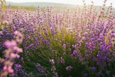 Наклейка Красивое поле лаванды