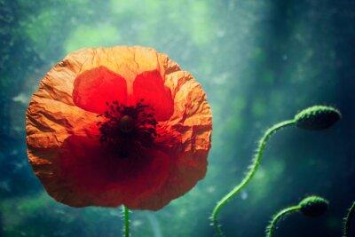 Наклейка Красивый цветок мака на ярко освещенной зеленом фоне, подсветка