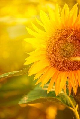 Наклейка Beautiful Sunflower in Field