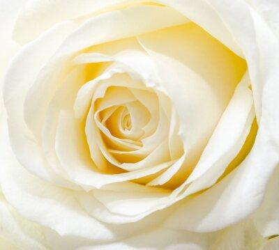 Наклейка Красивая белая роза