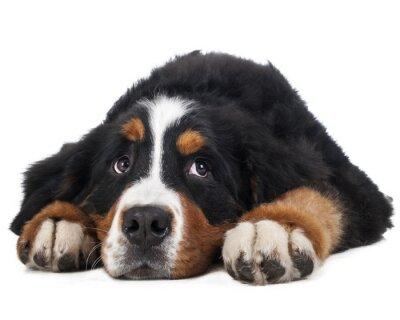 Наклейка Бернский зенненхунд на белом фоне в студии, грустно собаки