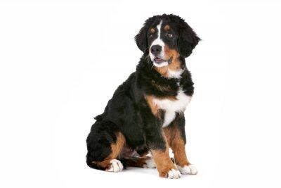 Наклейка Бернский зенненхунд щенок