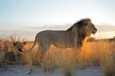 Наклейка Большие мужчины африканские львы (Panthera Leo) в раннем утреннем свете, Калахари, Южная Африка.