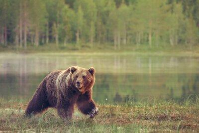 Наклейка Большой мужчина медведь ходить в болото на закате