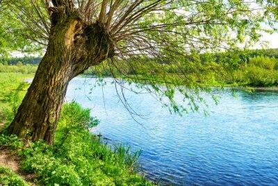 Наклейка Большое старое дерево на берегу реки