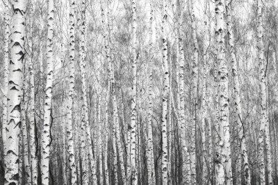 Наклейка березовый лес, черно-белая фотография