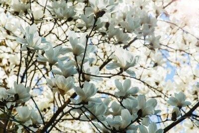 Наклейка Расцвет белые магнолии цветы в весеннее время