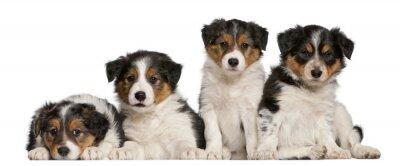 Наклейка Бордер-колли щенков, 6 недель
