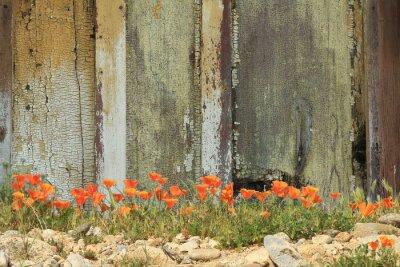 Наклейка Ярко-оранжевые маки Калифорния растут вместе с выветрившихся деревянным забором.
