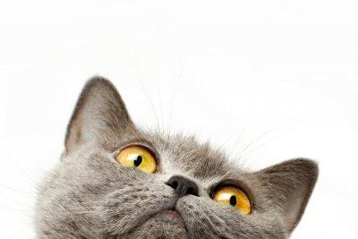 Наклейка Британская короткошерстная кошка