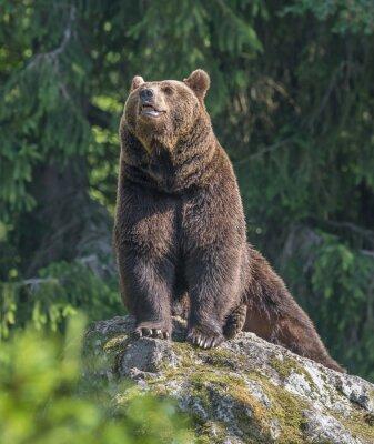Наклейка бурый медведь мужской