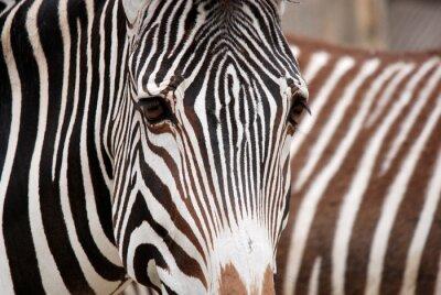 Наклейка Burchell's zebra is a southern subspecies of the plains zebra. It is named after the British explorer William John Burchell. Common names include bontequagga, Damara zebra and Zululand zebra