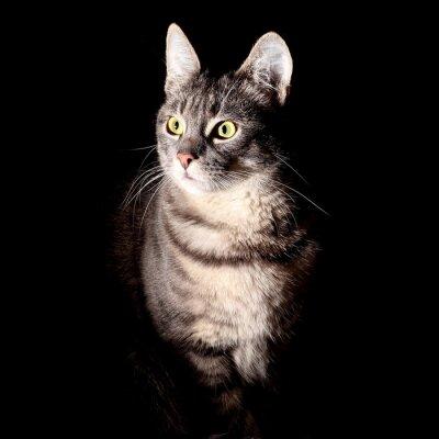 Наклейка Кот, черный фон