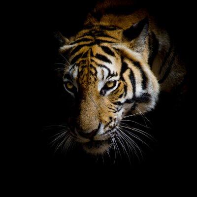 Наклейка закрыть лицо тигра, изолированных на черном фоне