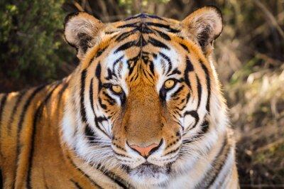 Наклейка Крупным планом Портрет тигра