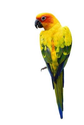 Наклейка Красочные ВС Conure, изолированной красивый желтый попугай птица о