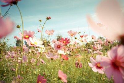 Наклейка Космос цветок расцветает в саду