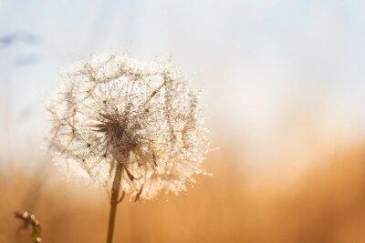 Наклейка Одуванчик цветок