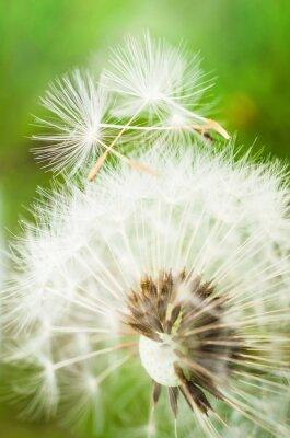 Наклейка Одуванчик цветок с двумя семенами на вершине