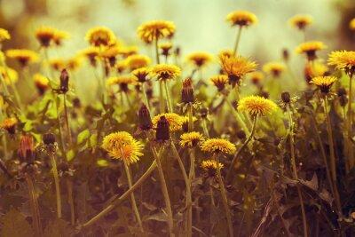 Наклейка Одуванчик цветы на закате против неба. Урожай коррекция цвета
