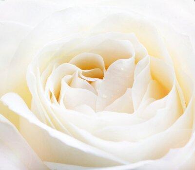 Наклейка Нежный белый роза крупным планом изображение