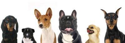 Наклейка Различные породы небольших собак