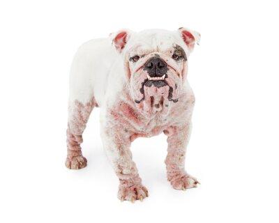 Наклейка Собака демодекоза