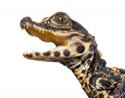 Наклейка Dwarf crocodile against white background