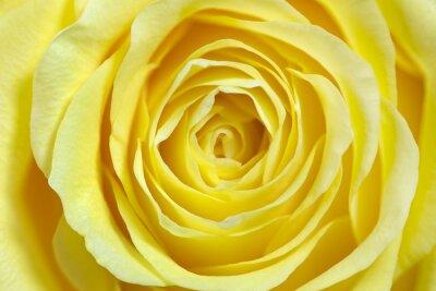 Наклейка Einzelne Gelbe Роза, formatfüllend