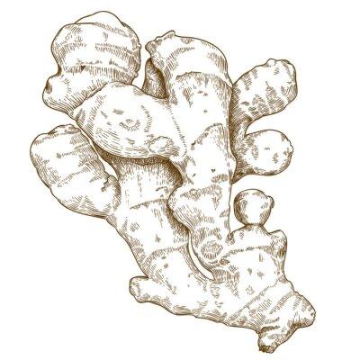 Наклейка гравюра иллюстрация корень имбиря
